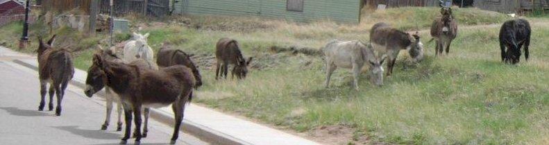 Donkeys in town
